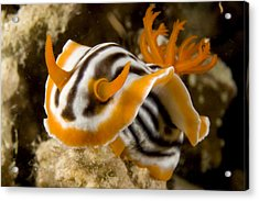 A Nudibranch Crawls Over The Reef Acrylic Print by Tim Laman