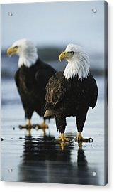 A Pair Of American Bald Eagles Stand Acrylic Print by Klaus Nigge