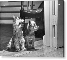 A Pair Of Australian Silky Terriers Acrylic Print by Willard Culver