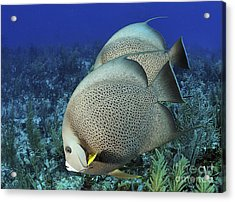A Pair Of Gray Angelfish On A Caribbean Acrylic Print by Karen Doody