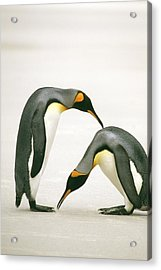 A Pair Of King Penguins In A Courtship Acrylic Print by Ralph Lee Hopkins