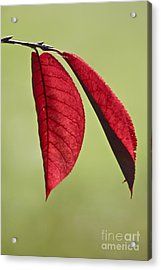 A Pair Of Red Leaves Acrylic Print