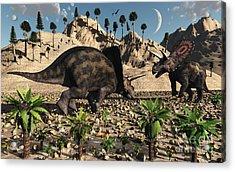 A Pair Of Torosaurus Dinosaurs Fight Acrylic Print by Mark Stevenson