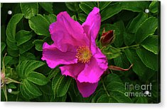 A Pair Of Wild Roses Acrylic Print