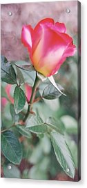 Acrylic Print featuring the photograph A Perfect Rose by Lynnette Johns