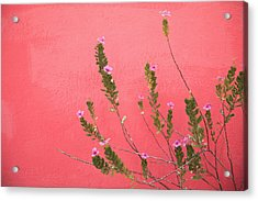 A Pink Flowering Plant Growing Beside A Acrylic Print by Stuart Westmorland