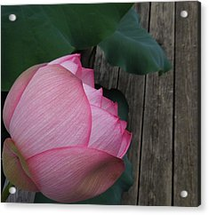 A Pink Lotus Flower Acrylic Print by Chad and Stacey Hall