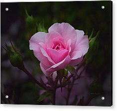 A Pink Rose Acrylic Print by Xueling Zou