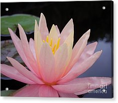 A Pink Water Lily Acrylic Print