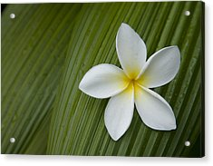 A Plumeria Flower Used In Making Leis Acrylic Print