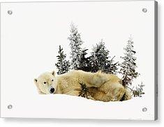 A Polar Bear Ursus Maritimus Acrylic Print by Richard Wear