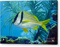 A Porkfish Swims By Sea Plumes Acrylic Print by Terry Moore