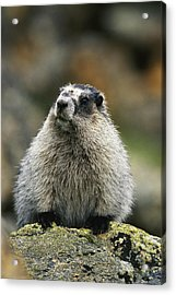 A Portrait Of A Hoary Marmot Sitting Acrylic Print by Michael S. Quinton