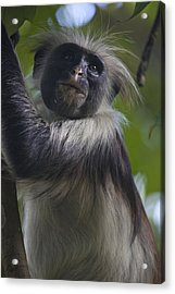 A Portrait Of A Red Colobus Monkey Acrylic Print by Michael Melford