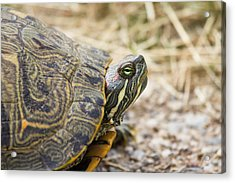 A Portrait Of Reptiles In Texas - Tortoise Acrylic Print by Ellie Teramoto