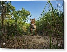 A Protected Tiger In Kaziranga National Acrylic Print