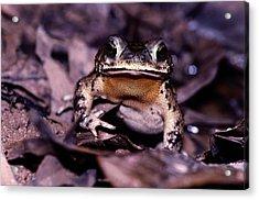 A Rain Forest Toad Of The Family Acrylic Print by Mattias Klum