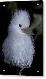 A Rare Albino Kookaburra With White Acrylic Print by Jason Edwards