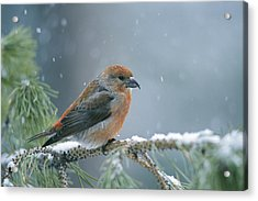 A Red Crossbill Loxia Curvirostra Acrylic Print by Michael S. Quinton