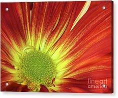 A Red Daisy Acrylic Print by Sabrina L Ryan