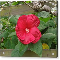 A Red Hibiscus Acrylic Print by Chad and Stacey Hall