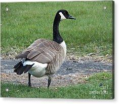 A Regal Goose Acrylic Print by Judy Via-Wolff