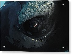 A Right Whales Eye Covered With Tiny Acrylic Print by Brian J. Skerry