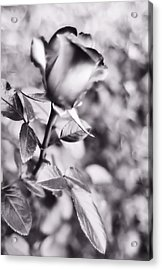 A Rose By Any Other Name Acrylic Print by Lynnette Johns