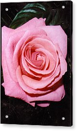 A Rose By Any Other Name Would Still Smell Just As Sweet Acrylic Print by Anne-Elizabeth Whiteway
