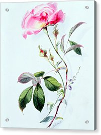 A Rose Acrylic Print by James Holland