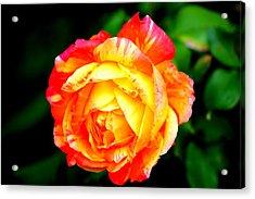 A Rose Acrylic Print by Jose Lopez