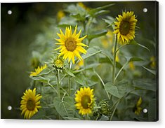 A Row Of Bright Yellow Sunflowers Grow Acrylic Print by Hannele Lahti