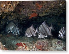 A School Of Atlantic Spadefish Acrylic Print by Terry Moore