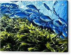 A School Of Blue Maomao Swim Acrylic Print by Brian J. Skerry