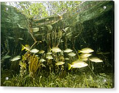 A School Of Snappers Shelters Among Acrylic Print by Tim Laman