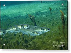 A School Of Striped Mullet Wim Acrylic Print by Michael Wood