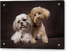 A Shihtzu And A Poodle On A Brown Acrylic Print by Corey Hochachka