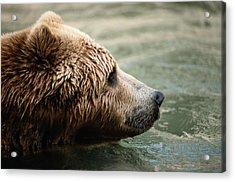 A Side-view Of A Captive Kodiak Bear Acrylic Print by Tim Laman