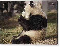 A Side View Of A Panda Bear Sitting Acrylic Print by Todd Gipstein