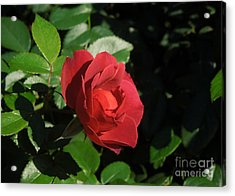 A Single Burgundy Rose Acrylic Print by Chad and Stacey Hall