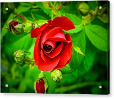A Single Red Rose Blooming Acrylic Print by Chantal PhotoPix