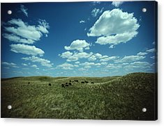 A Small Herd Of Bison Bison Bison Graze Acrylic Print by James P. Blair