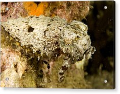 A Small Species Of Reef Cuttlefish Acrylic Print by Tim Laman