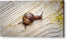 A Snail Sliding Across A Wooden Surface Acrylic Print by Tom Gowanlock