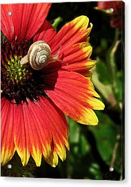A Snail's Pace Acrylic Print