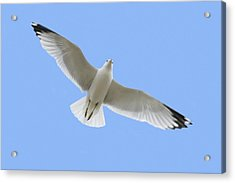 A Soaring Dove Acrylic Print by Don Hammond