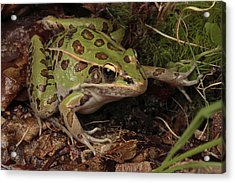 A Southern Leopard Frog Pauses In Leaf Acrylic Print by George Grall