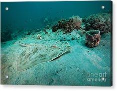 A Southern Stingray On The Sandy Bottom Acrylic Print by Michael Wood