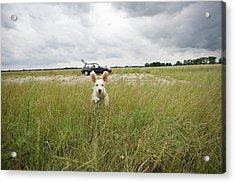 A Spanish Waterdog Running Through A Field Acrylic Print by Julia Christe