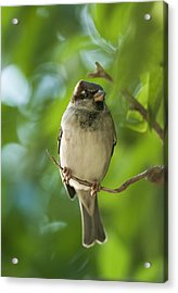 A Sparrow Perched On A Small Branch Acrylic Print by Ben Welsh
